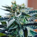 Sugar Black Rose (Delicious Seeds) feminisiert