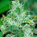 Fruity Chronic Juice (Delicious Seeds) femminizzati