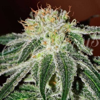 Black Russian (Delicious Seeds) feminisiert