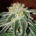 Black Russian (Delicious Seeds) femminizzati