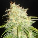 Critical Yumbolt (Delicious Seeds) feminized