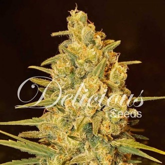Critical Sensi Star (Delicious Seeds) feminisiert