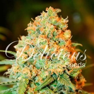 Critical Super Silver Haze (Delicious Seeds) feminized