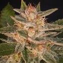 Cheese Candy (Delicious Seeds) feminisiert