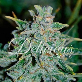 Northern Light Blue Auto (Delicious Seeds) feminized