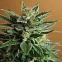 Snow White (Nirvana) feminized