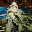 Short Rider Auto (Nirvana) feminized