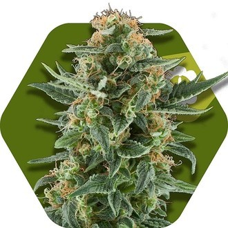 Power Plant XL Autoflowering (Zambeza) feminized