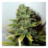 Super Skunk (Nirvana Seeds) feminisiert