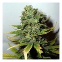 Super Skunk (Nirvana) feminized
