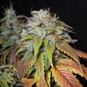 Swiss Cheese (Nirvana) feminized