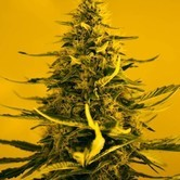 White Widow (Nirvana) feminized