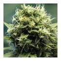 New York Power Diesel (Nirvana) feminized