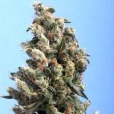 Kushage (T.H. Seeds) femminizzati