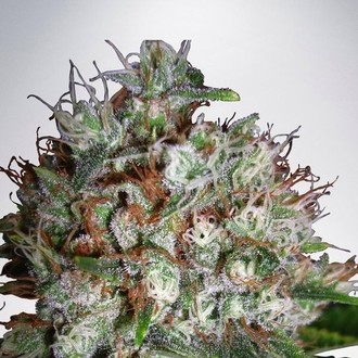 Big Bud XXL (Ministry of Cannabis) femminizzata