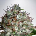 Big Bud XXL (Ministry of Cannabis) feminized