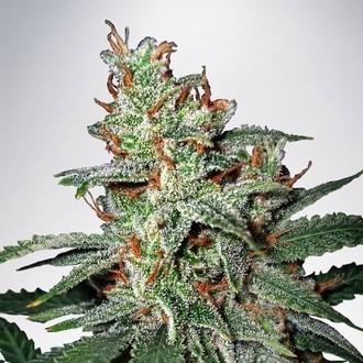 Carnival (Ministry of Cannabis) femminizzata