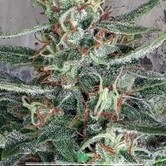 Crystal Cloud (Ministry of Cannabis) feminisiert