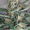 Crystal Cloud (Ministry of Cannabis) feminized