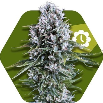 Northern Lights XL Autoflowering (Zambeza) feminisiert