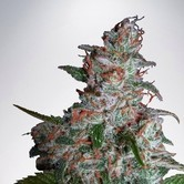 Northern Lights MOC (Ministry of Cannabis) feminisiert