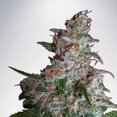 Northern Lights MOC (Ministry of Cannabis) feminized