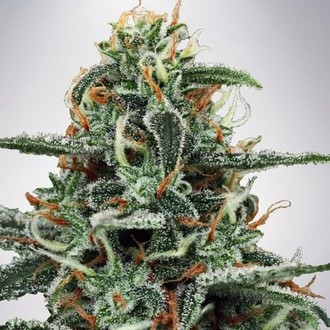 White Widow (Ministry of Cannabis) feminisiert