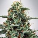 White Widow (Ministry of Cannabis) femminilizzata