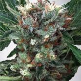 Zensation (Ministry of Cannabis) femminilizzata