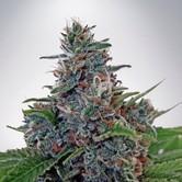 Auto Blue Amnesia (Ministry of Cannabis) femminilizzata