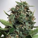 Autopilot XXL (Ministry of Cannabis) feminisiert