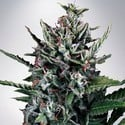 Auto Silver Bullet (Ministry of Cannabis) feminized