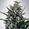 Auto Silver Bullet (Ministry of Cannabis) femminizzata