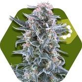 Blueberry Autoflowering (Zambeza) feminized