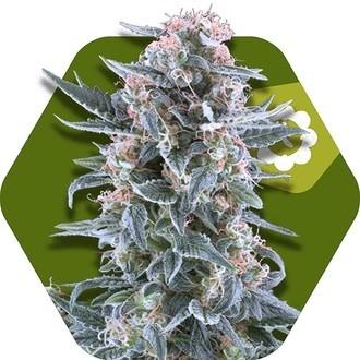 Blueberry Autoflowering (Zambeza) femminizzata