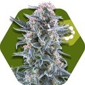 Blueberry Autoflowering (Zambeza) feminisiert