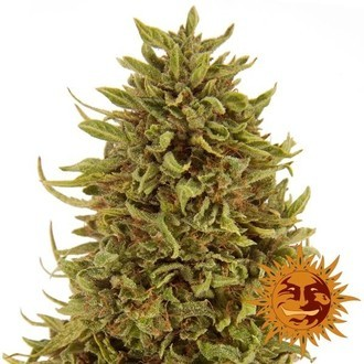 Pineapple Express Auto (Barney's Farm) femminizzata