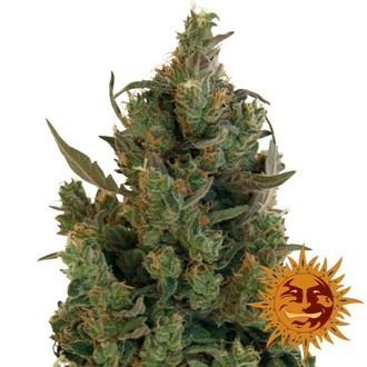 Blue Cheese (Barney's Farm) feminisiert