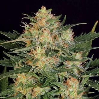 Autoflowering White Russian (Serious Seeds) feminized