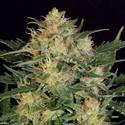 Autoflowering White Russian (Serious Seeds) femminizzata