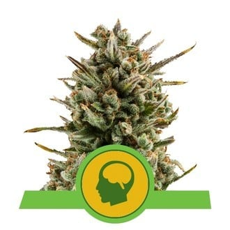 Amnesia Haze Automatic (Royal Queen Seeds) feminisiert