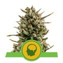 Amnesia Haze Automatic (Royal Queen Seeds) feminized
