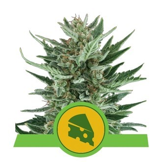 Royal Cheese Automatic (Royal Queen Seeds) feminized