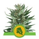 Royal Cheese Automatic (Royal Queen Seeds) femminizzata