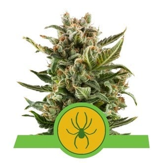 White Widow Automatic (Royal Queen Seeds) feminisiert