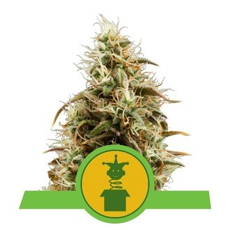 Royal Jack Automatic (Royal Queen Seeds) feminisiert