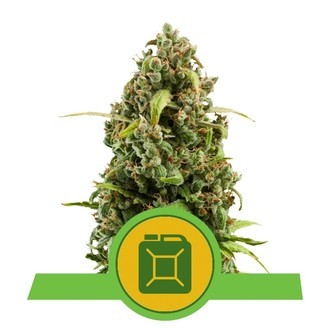 Diesel Automatic (Royal Queen Seeds) feminisiert