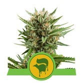 Sweet Skunk Automatic (Royal Queen Seeds) feminized