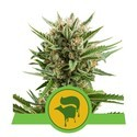 Sweet Skunk Automatic (Royal Queen Seeds) feminisiert