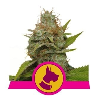 Kali Dog (Royal Queen Seeds) feminisiert